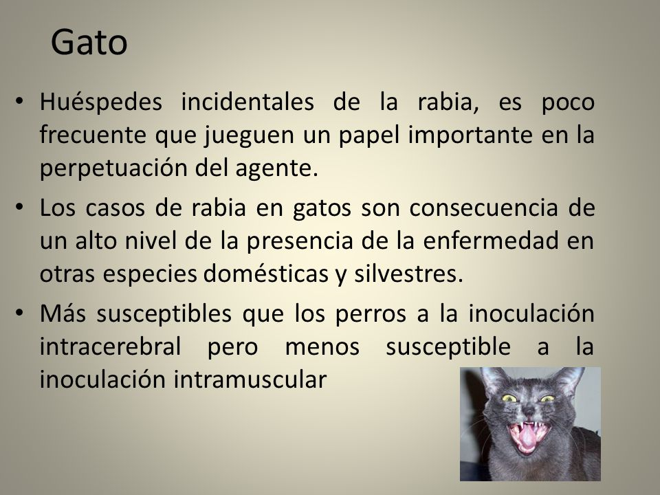 Gato Huéspedes incidentales de la rabia, es poco frecuente que jueguen un papel importante en la perpetuación del agente. Los casos de rabia en gatos