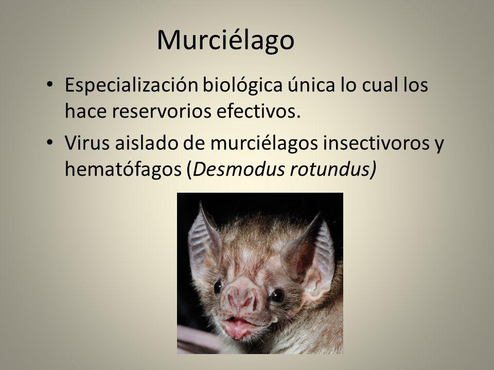 Murciélago Especialización biológica única lo cual los hace reservorios efectivos. Virus aislado de murciélagos insectivoros y hematófagos (Desmodus r