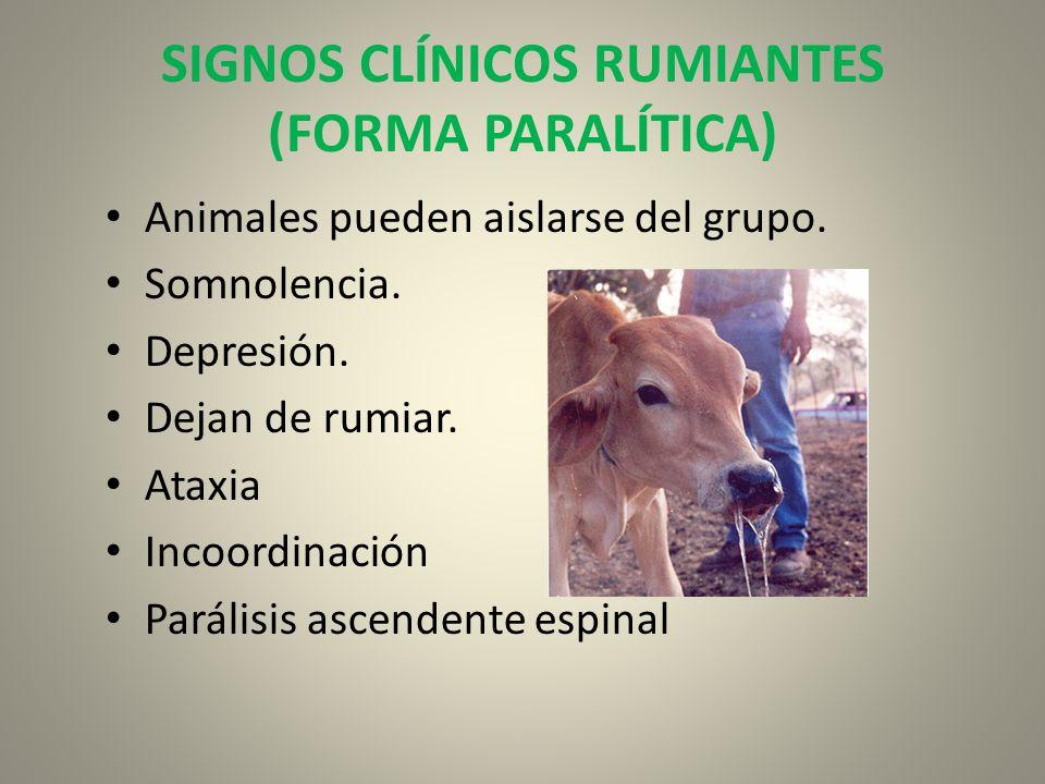 SIGNOS CLÍNICOS RUMIANTES (FORMA PARALÍTICA) Animales pueden aislarse del grupo. Somnolencia. Depresión. Dejan de rumiar. Ataxia Incoordinación Paráli