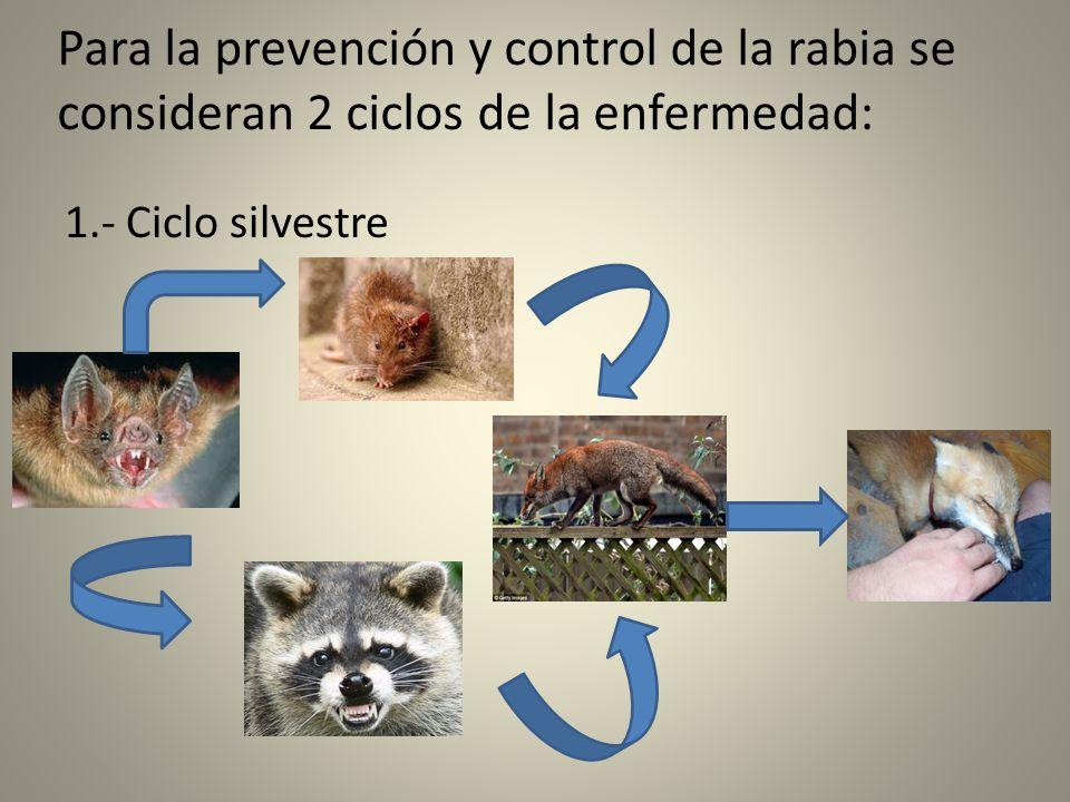 Para la prevención y control de la rabia se consideran 2 ciclos de la enfermedad: 1.- Ciclo silvestre