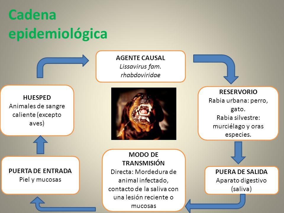 Cadena epidemiológica AGENTE CAUSAL Lissavirus fam. rhabdoviridae RESERVORIO Rabia urbana: perro, gato. Rabia silvestre: murciélago y oras especies. H