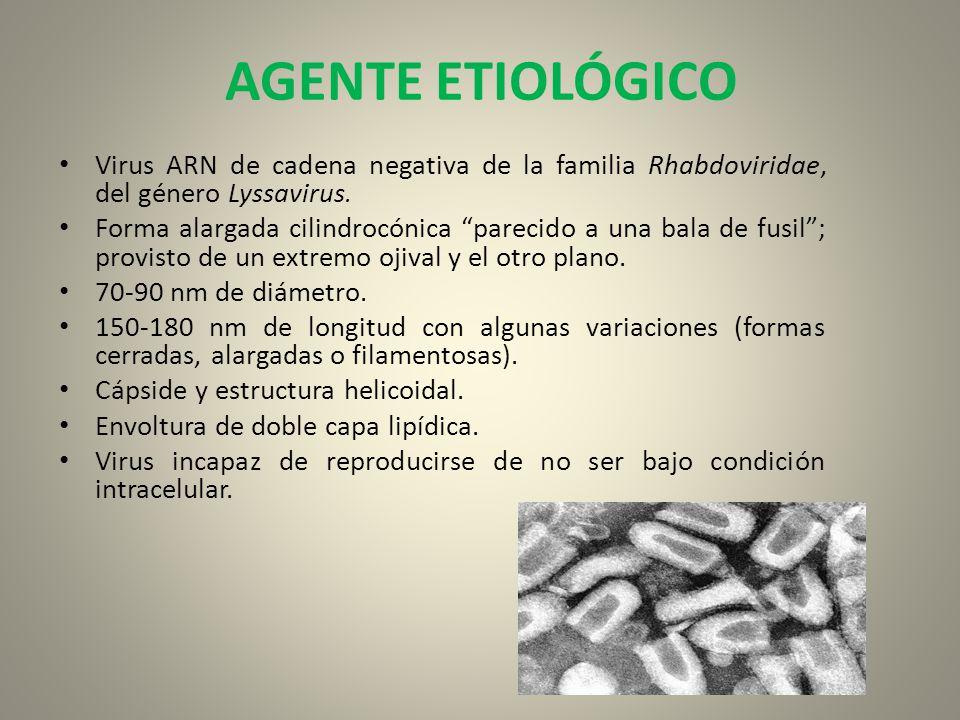 AGENTE ETIOLÓGICO Virus ARN de cadena negativa de la familia Rhabdoviridae, del género Lyssavirus. Forma alargada cilindrocónica parecido a una bala d