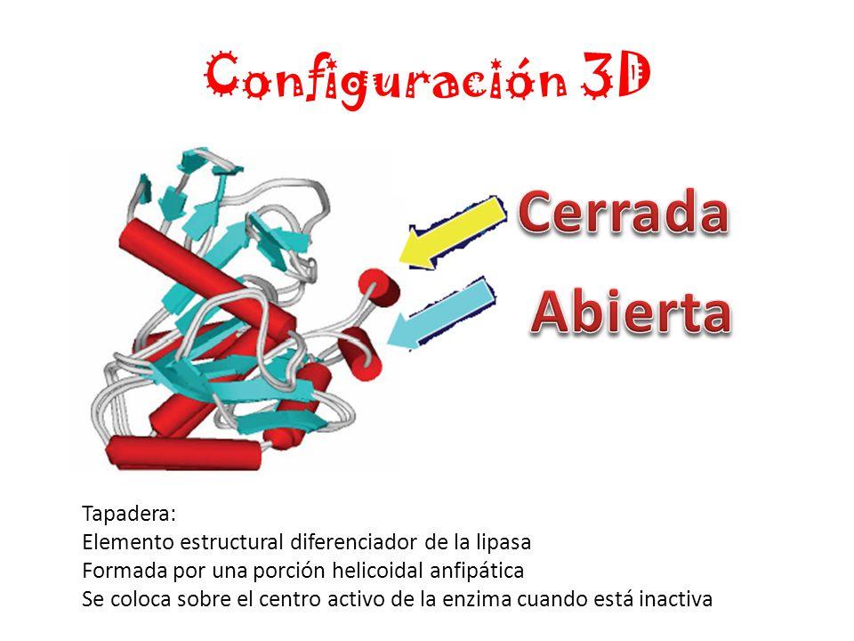 Configuración 3D Tapadera: Elemento estructural diferenciador de la lipasa Formada por una porción helicoidal anfipática Se coloca sobre el centro activo de la enzima cuando está inactiva