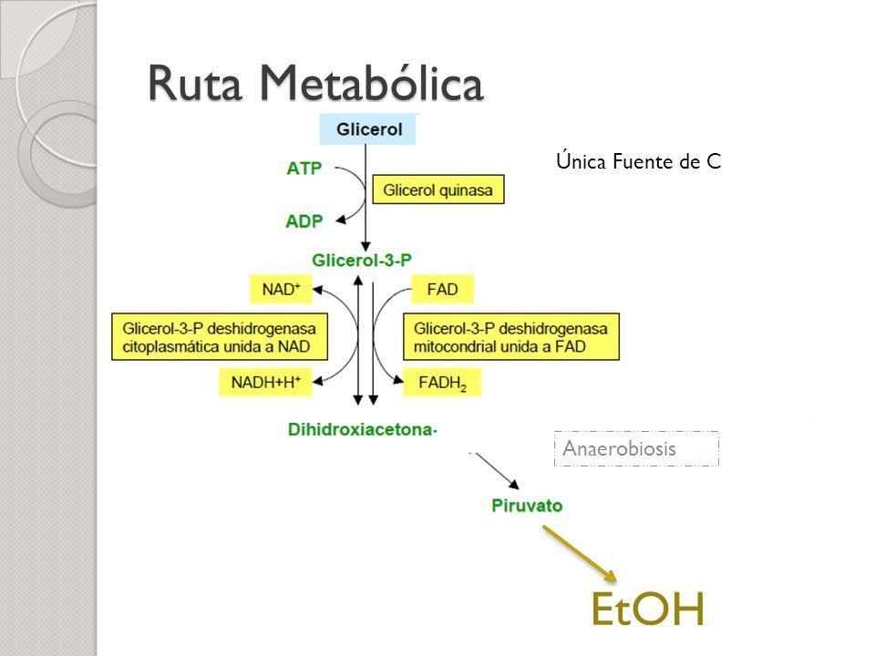 Ruta Metabólica EtOH Anaerobiosis Única Fuente de C