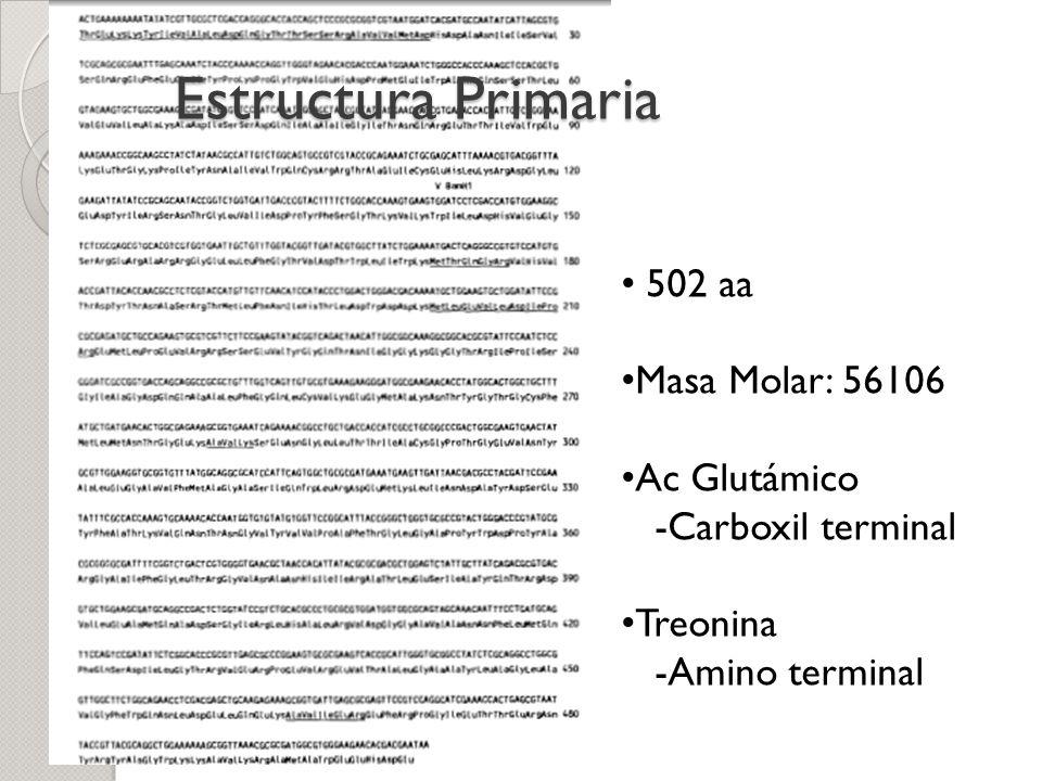 Estructura Primaria 502 aa Masa Molar: 56106 Ac Glutámico -Carboxil terminal Treonina -Amino terminal