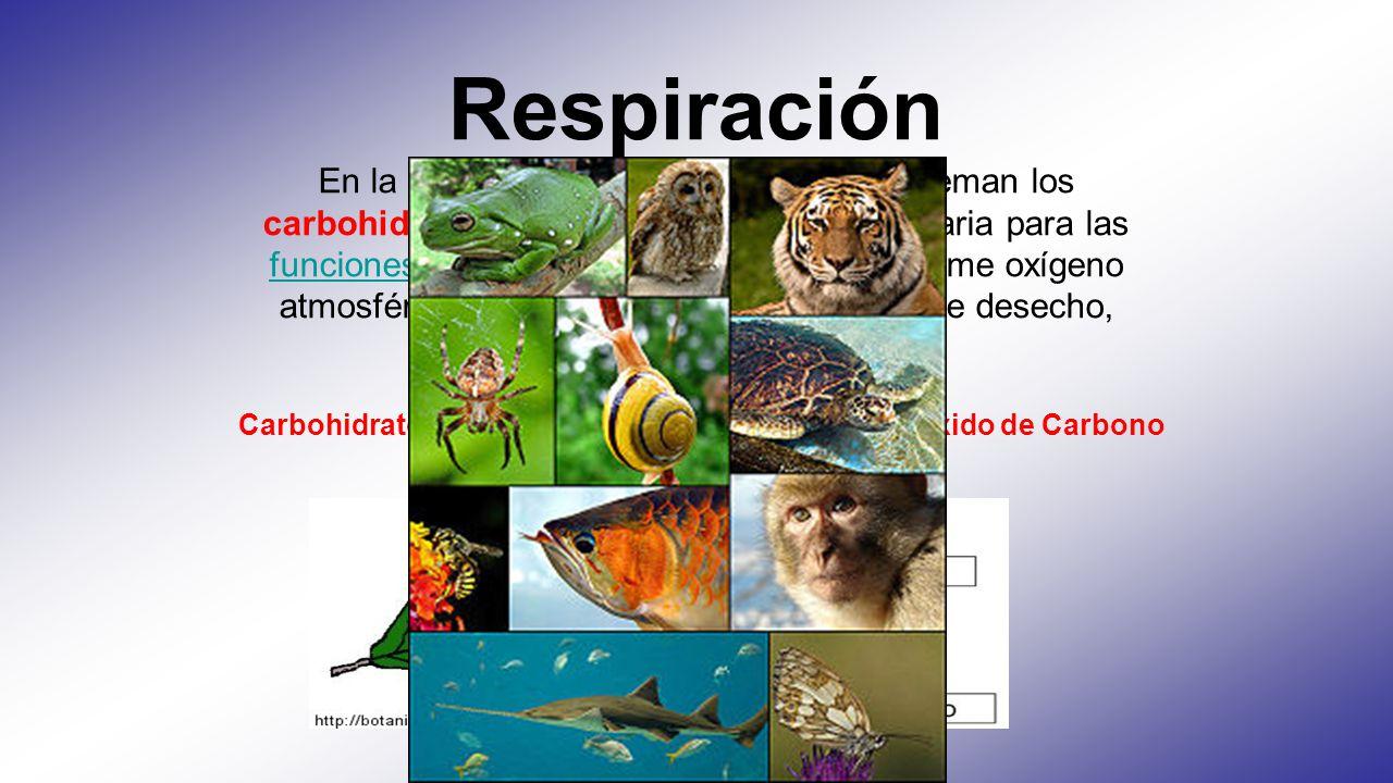 Respiración En la respiración, por el contrario, se queman los carbohidratos, aportando la energía necesaria para las funciones vitales. En este proce