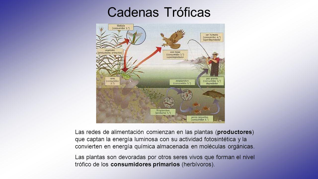 Niveles tróficos Productores o Autótrofos (plantas) Consumidores primarios (herbívoros) Consumidores secundarios (carnívoros primarios) Consumidores terciarios (carnívoros secundarios)