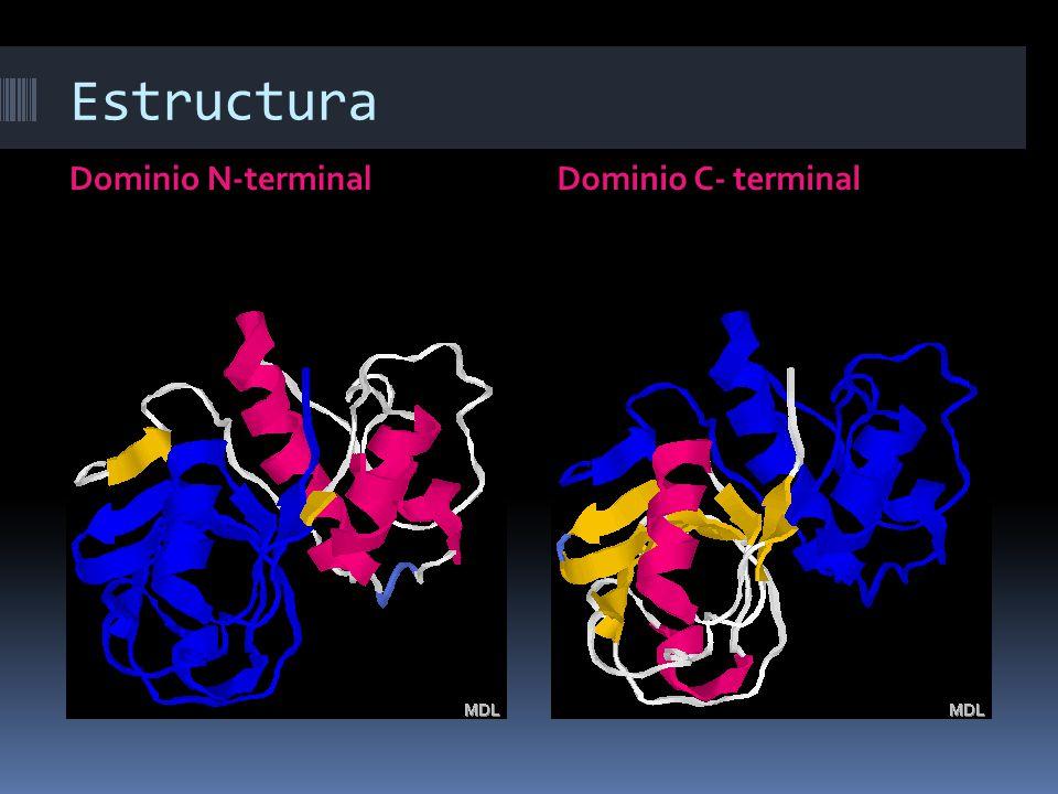 Estructura Dominio N-terminalDominio C- terminal