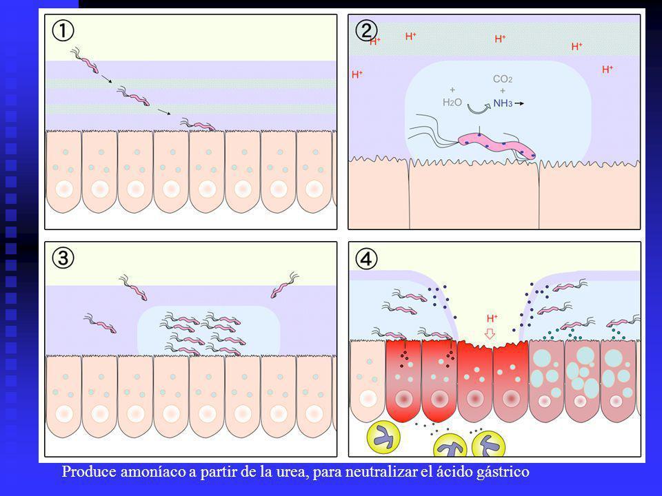 Produce amoníaco a partir de la urea, para neutralizar el ácido gástrico