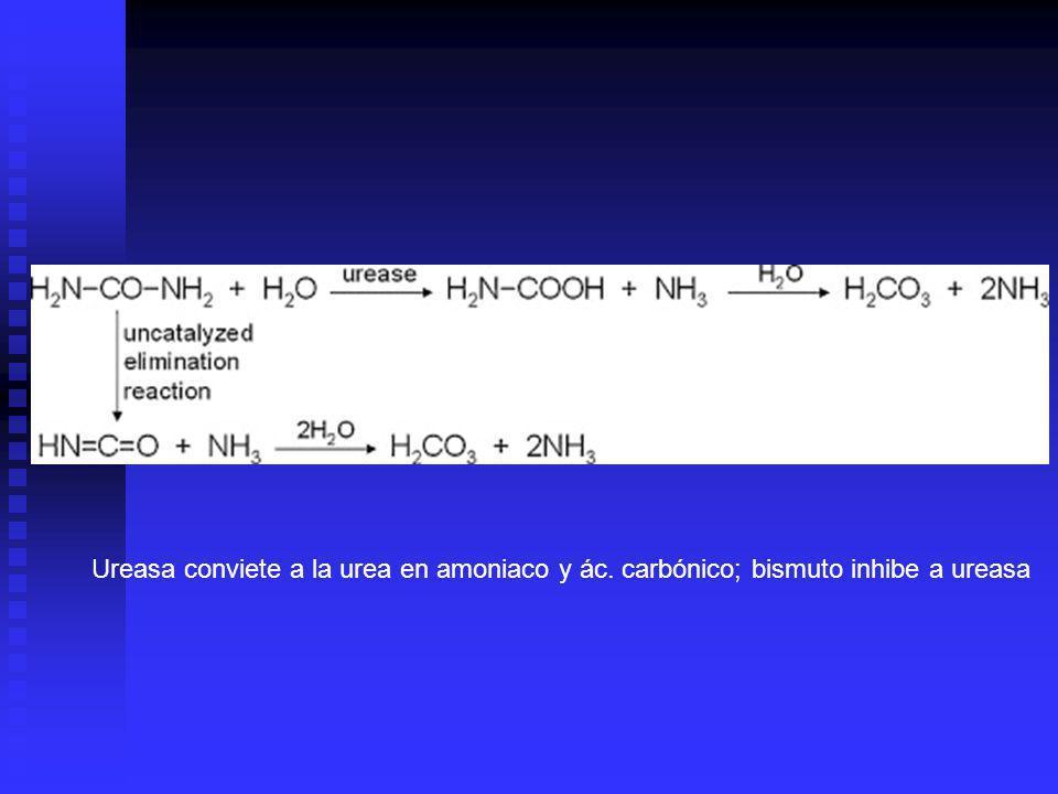 Ureasa conviete a la urea en amoniaco y ác. carbónico; bismuto inhibe a ureasa