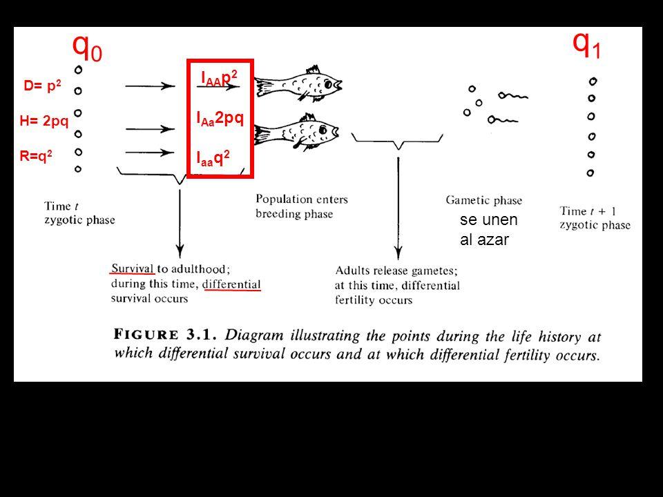 se unen al azar q0q0 q1q1 l AA p 2 l Aa 2pq l aa q 2 D= p 2 H= 2pq R=q 2