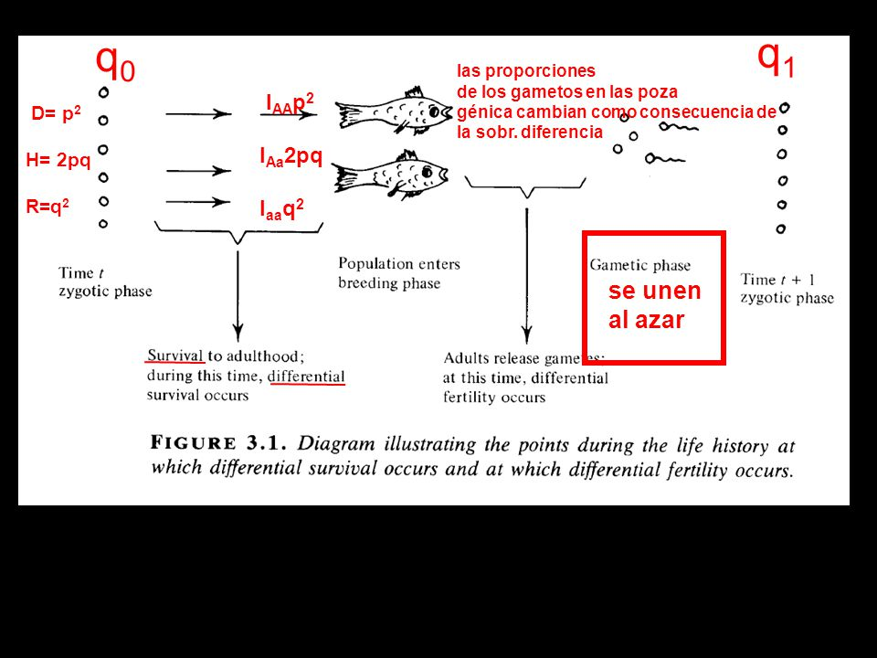 se unen al azar q0q0 q1q1 las proporciones de los gametos en las poza génica cambian como consecuencia de la sobr. diferencia D= p 2 H= 2pq R=q 2 l AA