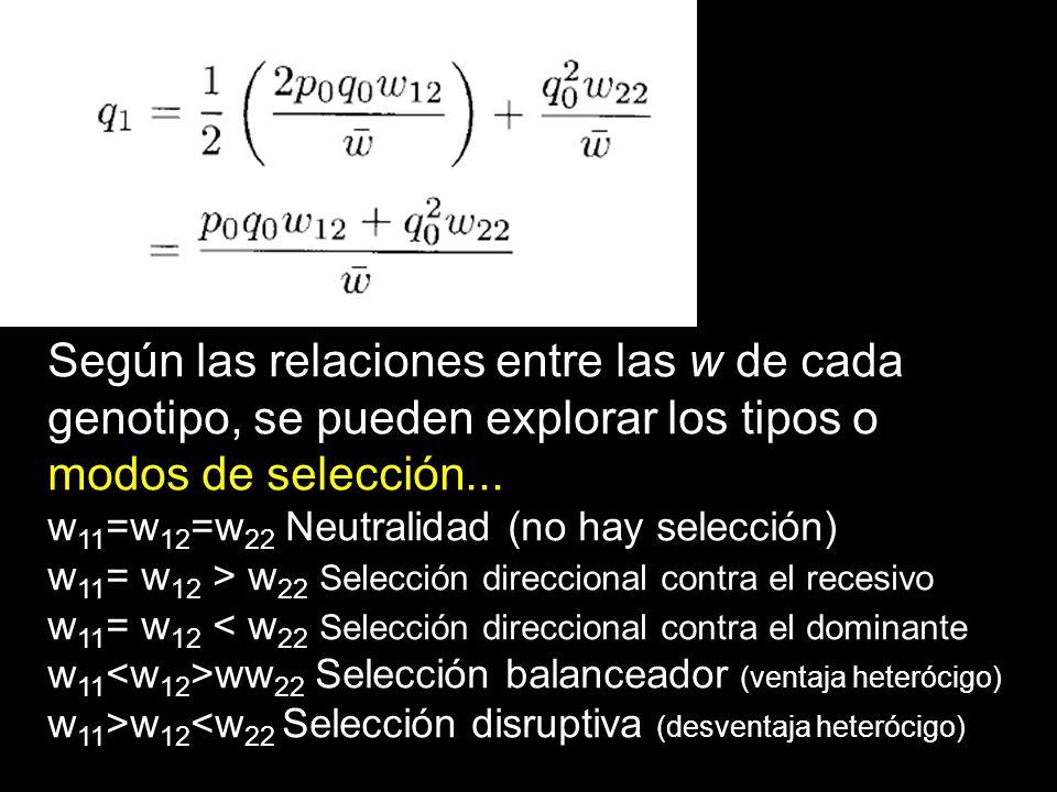 Según las relaciones entre las w de cada genotipo, se pueden explorar los tipos o modos de selección... w 11 =w 12 =w 22 Neutralidad (no hay selección