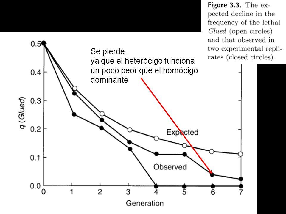 Se pierde, ya que el heterócigo funciona un poco peor que el homócigo dominante
