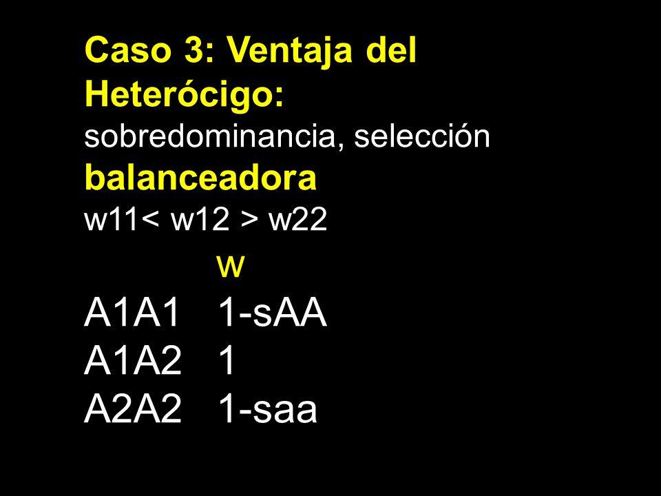 Caso 3: Ventaja del Heterócigo: sobredominancia, selección balanceadora w11 w22 w A1A11-sAA A1A21 A2A21-saa