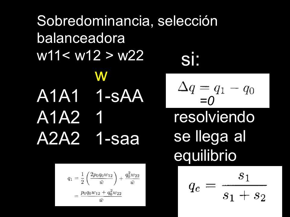 Sobredominancia, selección balanceadora w11 w22 w A1A11-sAA A1A21 A2A21-saa =0 si: resolviendo se llega al equilibrio