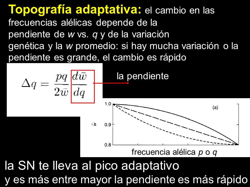 Topografía adaptativa: el cambio en las frecuencias alélicas depende de la pendiente de w vs. q y de la variación genética y la w promedio: si hay muc