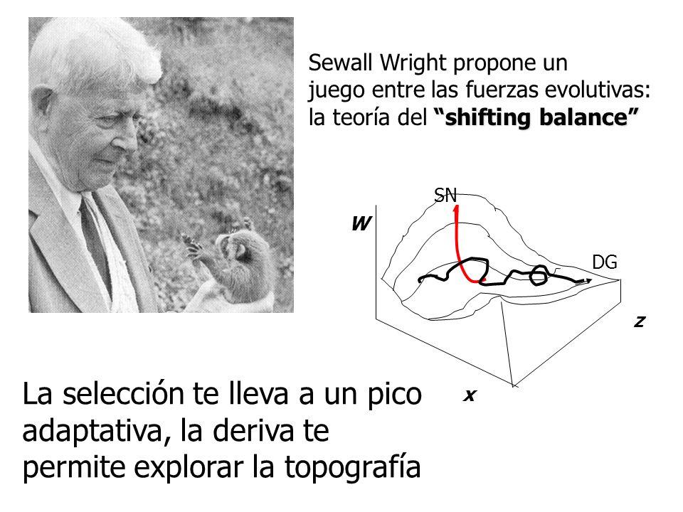 Sewall Wright propone un juego entre las fuerzas evolutivas: shifting balance la teoría del shifting balance W x z La selección te lleva a un pico adaptativa, la deriva te permite explorar la topografía SN DG