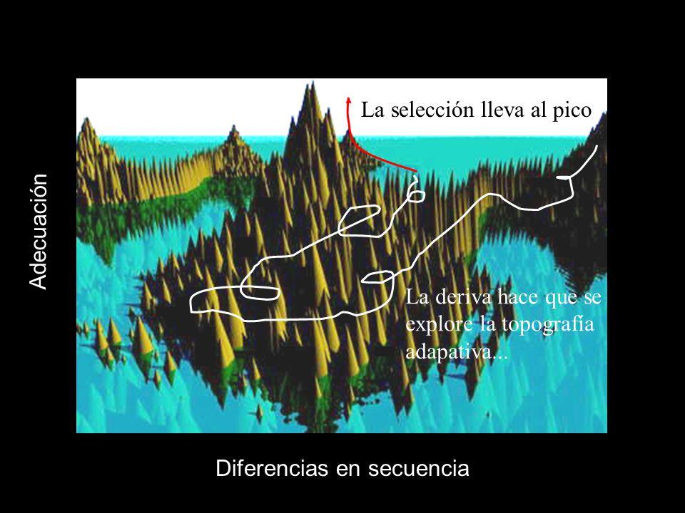 Diferencias en secuencia Adecuación La selección lleva al pico La deriva hace que se explore la topografía adapativa...