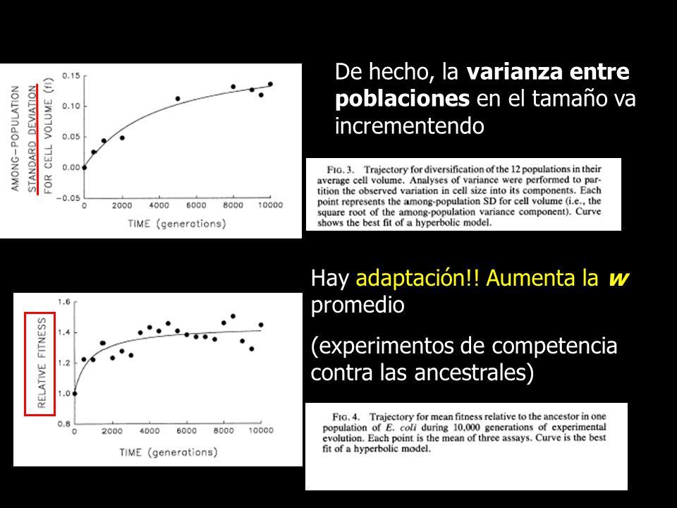 De hecho, la varianza entre poblaciones en el tamaño va incrementendo Hay adaptación!! Aumenta la w promedio (experimentos de competencia contra las a