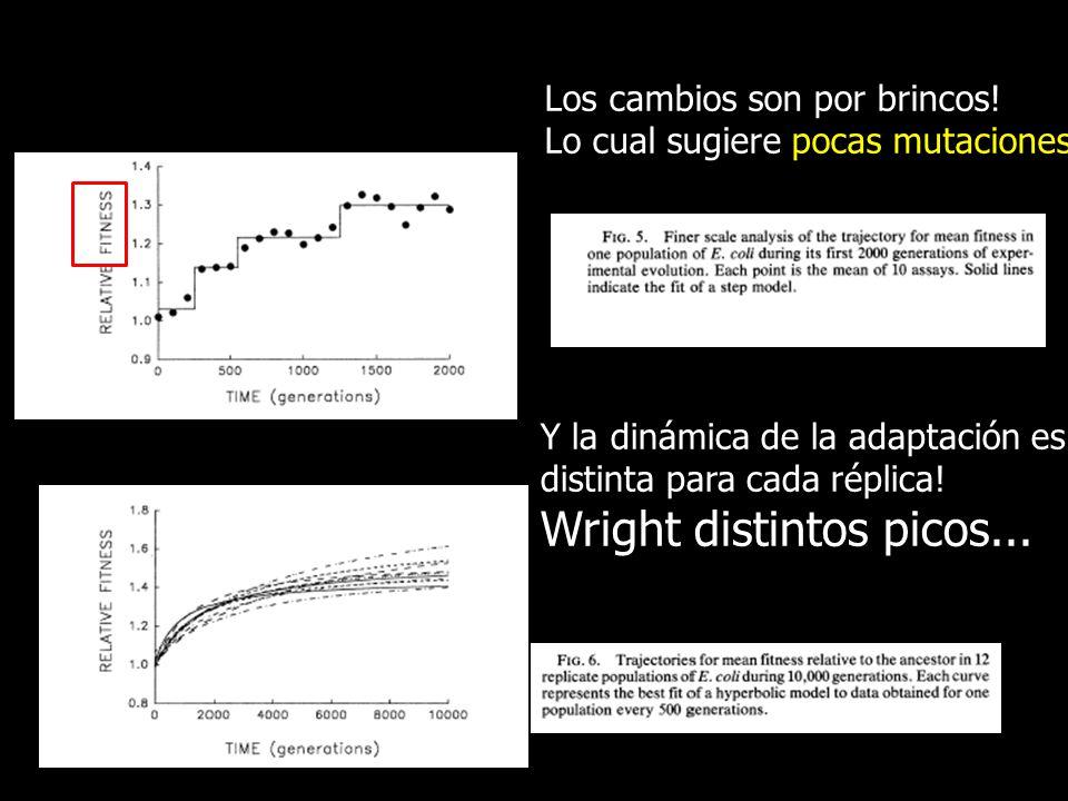Los cambios son por brincos! Lo cual sugiere pocas mutaciones Y la dinámica de la adaptación es distinta para cada réplica! Wright distintos picos...