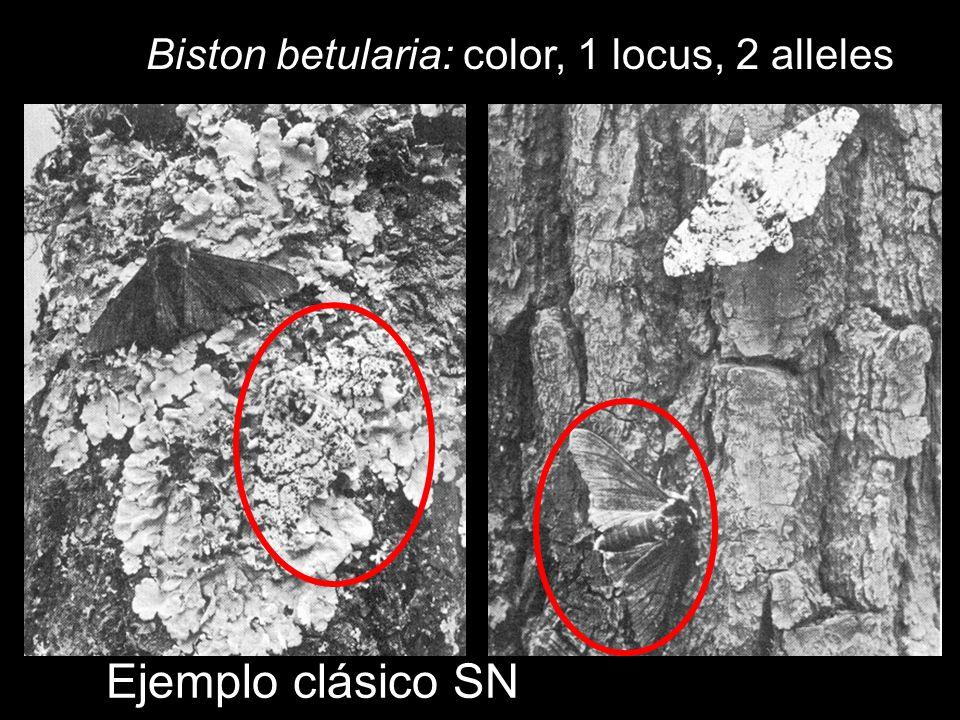 Biston betularia: color, 1 locus, 2 alleles Ejemplo clásico SN