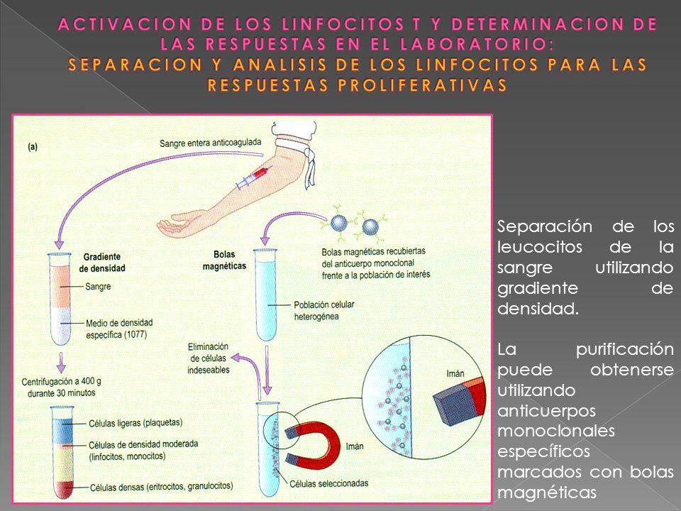 Separación de los leucocitos de la sangre utilizando gradiente de densidad. La purificación puede obtenerse utilizando anticuerpos monoclonales especí