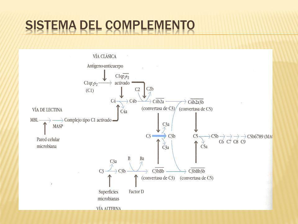 MACROMOLECULA C1 COMPUESTO POR C1q Y DOS MOLECULAS C1r Y DOS C1s, UNIDAS ENTRE SI (C1qr2s2) ESTABILIZADO POR IONES Ca2+.