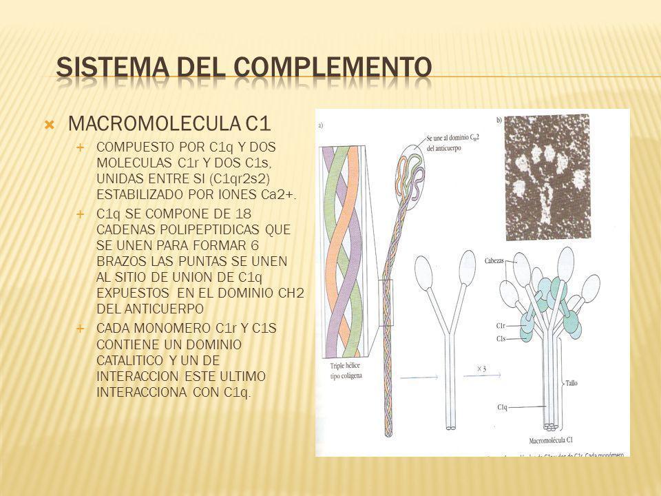 MACROMOLECULA C1 COMPUESTO POR C1q Y DOS MOLECULAS C1r Y DOS C1s, UNIDAS ENTRE SI (C1qr2s2) ESTABILIZADO POR IONES Ca2+. C1q SE COMPONE DE 18 CADENAS