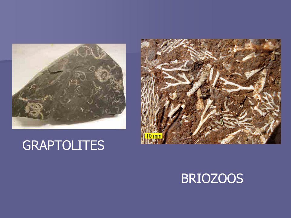 BRIOZOOS GRAPTOLITES