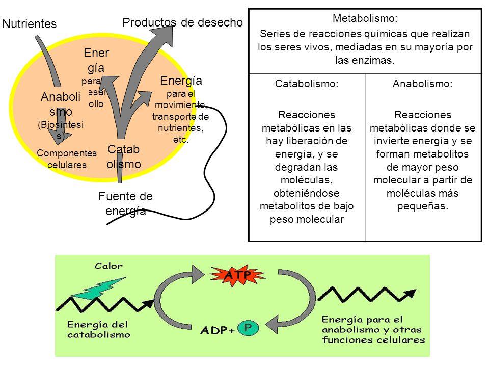 Nutrientes Productos de desecho Ener gía para el desarr ollo Energía para el movimiento, transporte de nutrientes, etc. Componentes celulares Fuente d
