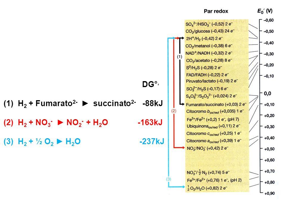 DG°, (1)H 2 + Fumarato 2- succinato 2- -88kJ (2)H 2 + NO 3 - NO 2 - + H 2 O -163kJ (3)H 2 + ½ O 2 H 2 O -237kJ