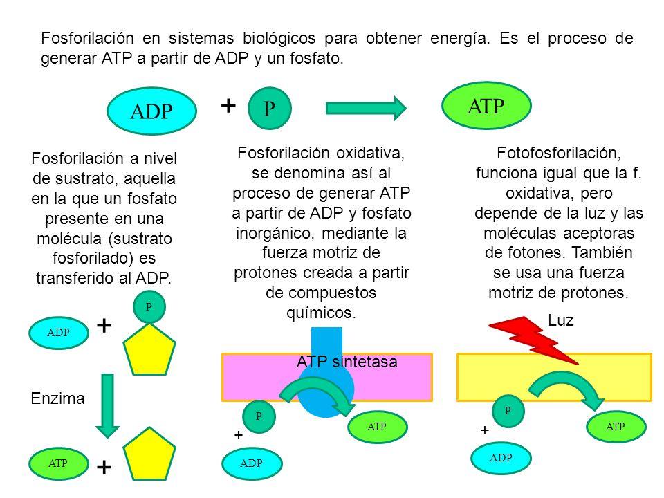Fosforilación en sistemas biológicos para obtener energía. Es el proceso de generar ATP a partir de ADP y un fosfato. + Fosforilación a nivel de sustr