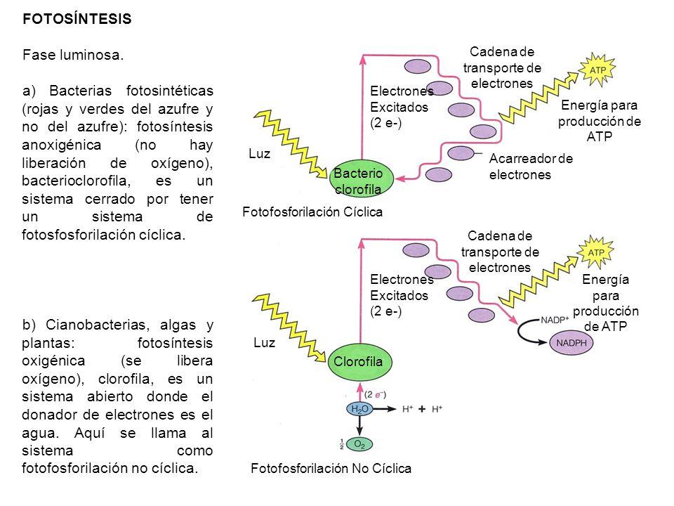 FOTOSÍNTESIS Fase luminosa. a) Bacterias fotosintéticas (rojas y verdes del azufre y no del azufre): fotosíntesis anoxigénica (no hay liberación de ox