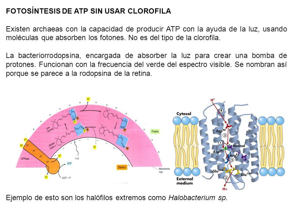 FOTOSÍNTESIS DE ATP SIN USAR CLOROFILA Existen archaeas con la capacidad de producir ATP con la ayuda de la luz, usando moléculas que absorben los fot
