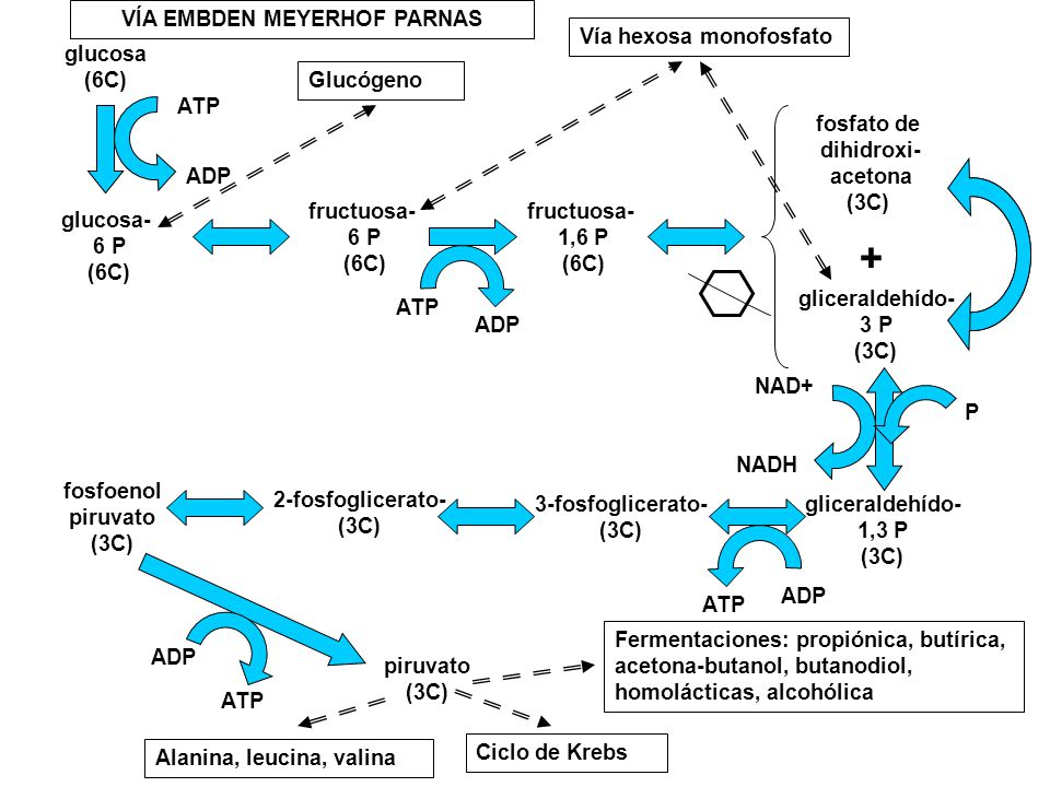 glucosa (6C) glucosa- 6 P (6C) fructuosa- 6 P (6C) fructuosa- 1,6 P (6C) fosfato de dihidroxi- acetona (3C) gliceraldehído- 3 P (3C) gliceraldehído- 1