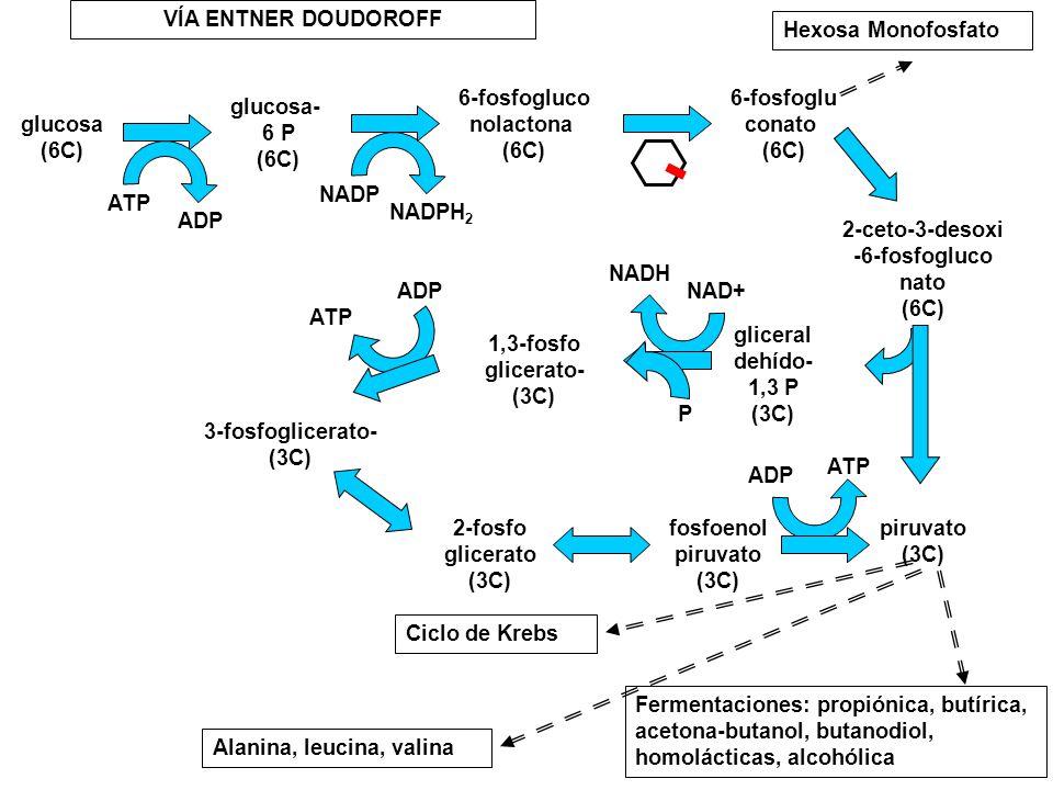 glucosa (6C) glucosa- 6 P (6C) 6-fosfogluco nolactona (6C) 6-fosfoglu conato (6C) 2-ceto-3-desoxi -6-fosfogluco nato (6C) gliceral dehído- 1,3 P (3C)