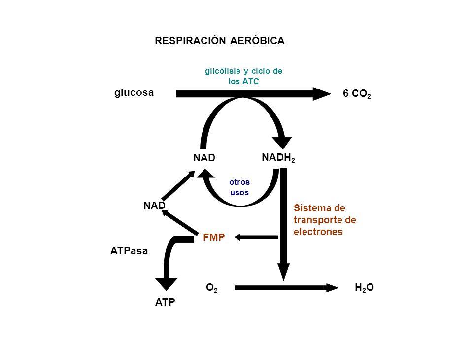 RESPIRACIÓN AERÓBICA glucosa 6 CO 2 NAD NADH 2 glicólisis y ciclo de los ATC otros usos NAD ATPasa ATP O2O2 H2OH2O FMP Sistema de transporte de electr