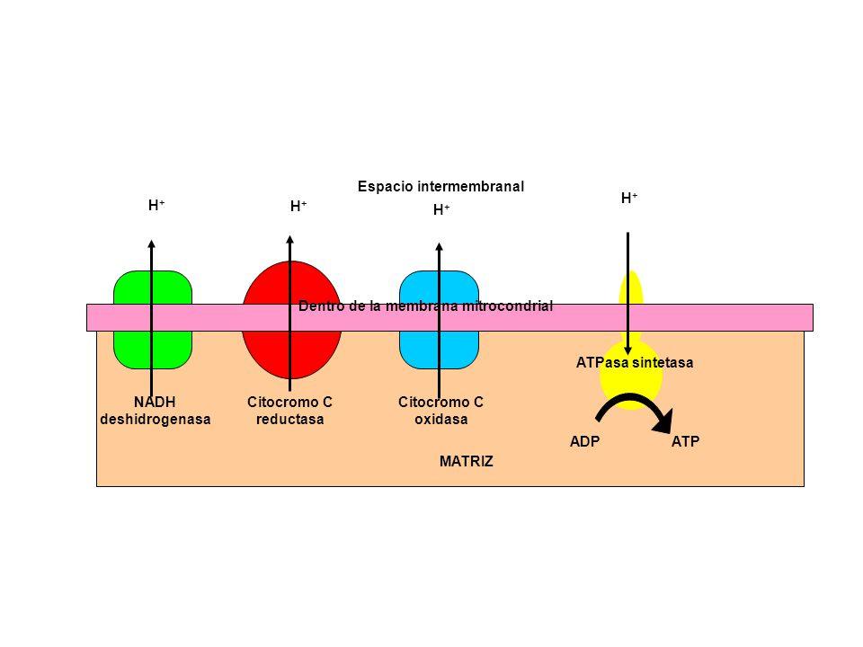 NADH deshidrogenasa Citocromo C reductasa Citocromo C oxidasa ATPasa sintetasa ADPATP H+H+ H+H+ H+H+ H+H+ MATRIZ Espacio intermembranal Dentro de la m