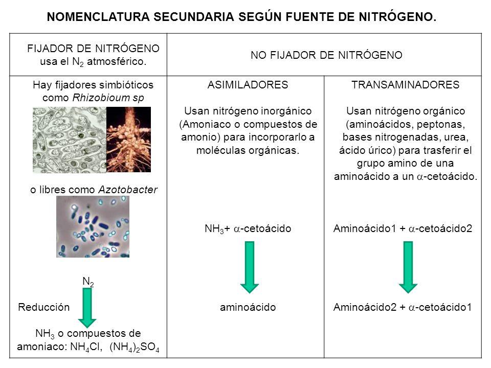 FIJADOR DE NITRÓGENO usa el N 2 atmosférico. NO FIJADOR DE NITRÓGENO Hay fijadores simbióticos como Rhizobioum sp o libres como Azotobacter sp. N 2 Re