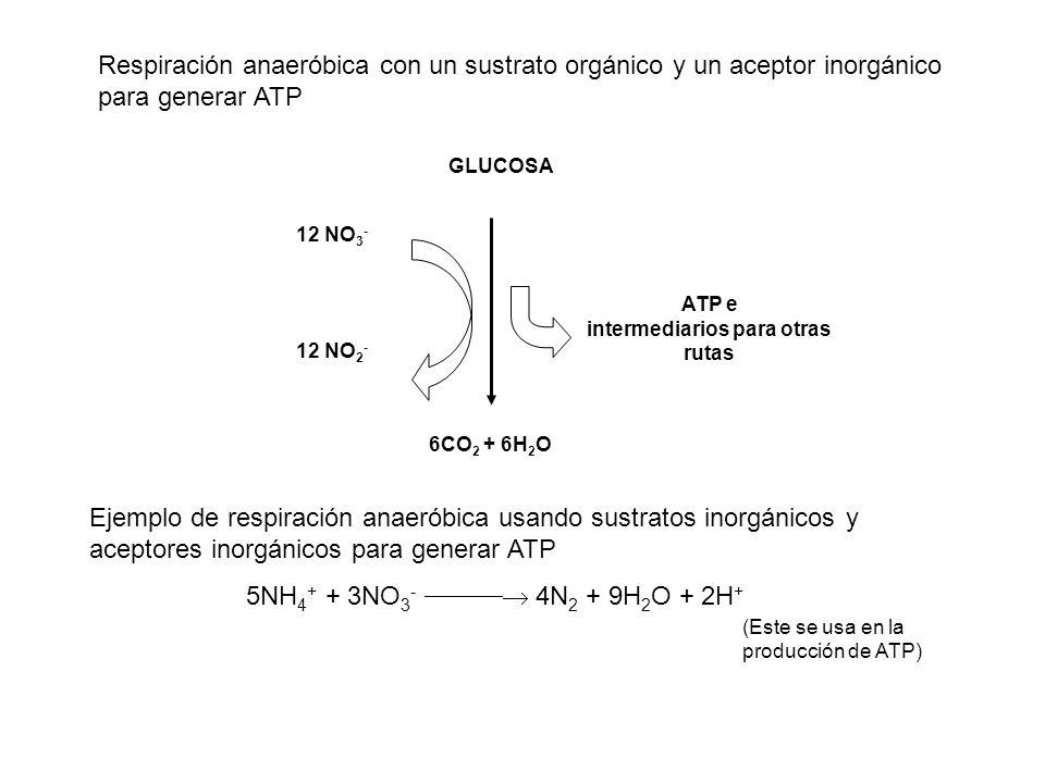 Respiración anaeróbica con un sustrato orgánico y un aceptor inorgánico para generar ATP GLUCOSA 12 NO 3 - ATP e intermediarios para otras rutas 6CO 2