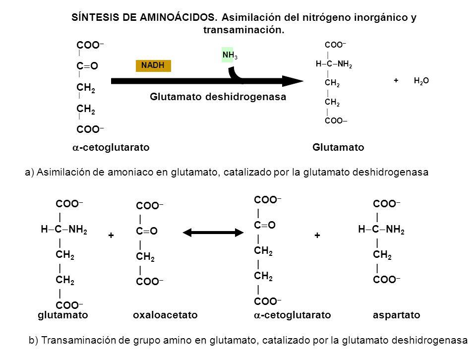 COO C O CH 2 CH 2 COO NH 3 COO H C NH 2 CH 2 CH 2 COO NADH + H 2 O SÍNTESIS DE AMINOÁCIDOS. Asimilación del nitrógeno inorgánico y transaminación. Glu