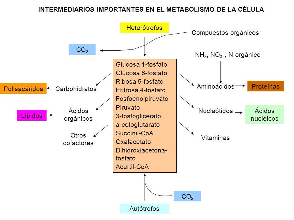 INTERMEDIARIOS IMPORTANTES EN EL METABOLISMO DE LA CÉLULA Glucosa 1-fosfato Glucosa 6-fosfato Ribosa 5-fosfato Eritrosa 4-fosfato Fosfoenolpiruvato Pi