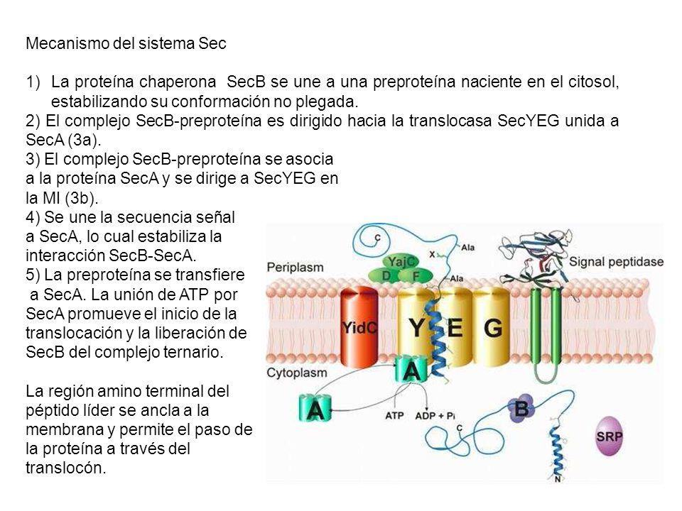 Mecanismo del sistema Sec 1)La proteína chaperona SecB se une a una preproteína naciente en el citosol, estabilizando su conformación no plegada. 2) E