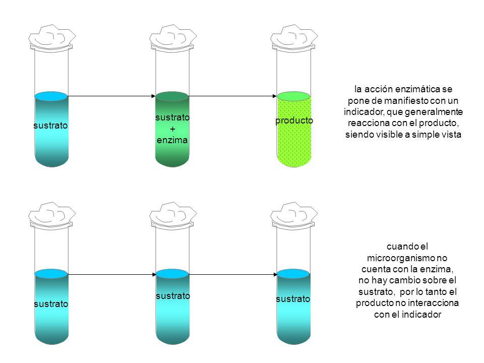 sustrato + enzima producto la acción enzimática se pone de manifiesto con un indicador, que generalmente reacciona con el producto, siendo visible a s