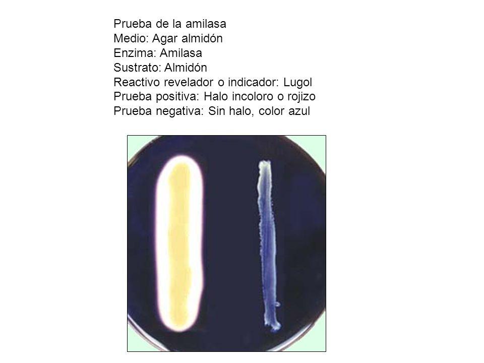 Prueba de la amilasa Medio: Agar almidón Enzima: Amilasa Sustrato: Almidón Reactivo revelador o indicador: Lugol Prueba positiva: Halo incoloro o roji