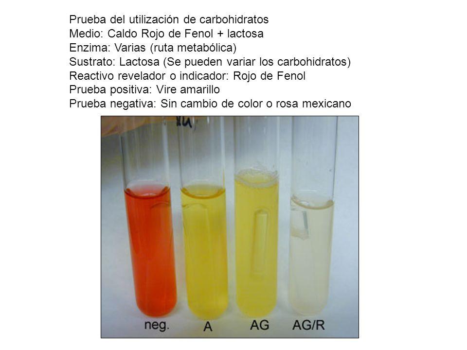 Prueba del utilización de carbohidratos Medio: Caldo Rojo de Fenol + lactosa Enzima: Varias (ruta metabólica) Sustrato: Lactosa (Se pueden variar los
