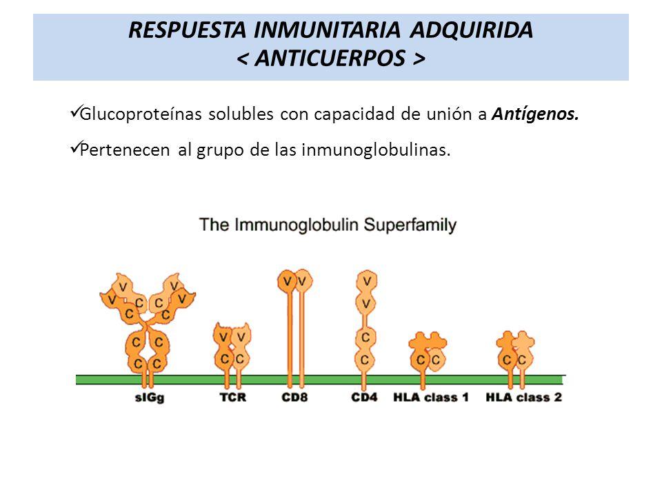 Glucoproteínas solubles con capacidad de unión a Antígenos. Pertenecen al grupo de las inmunoglobulinas. RESPUESTA INMUNITARIA ADQUIRIDA