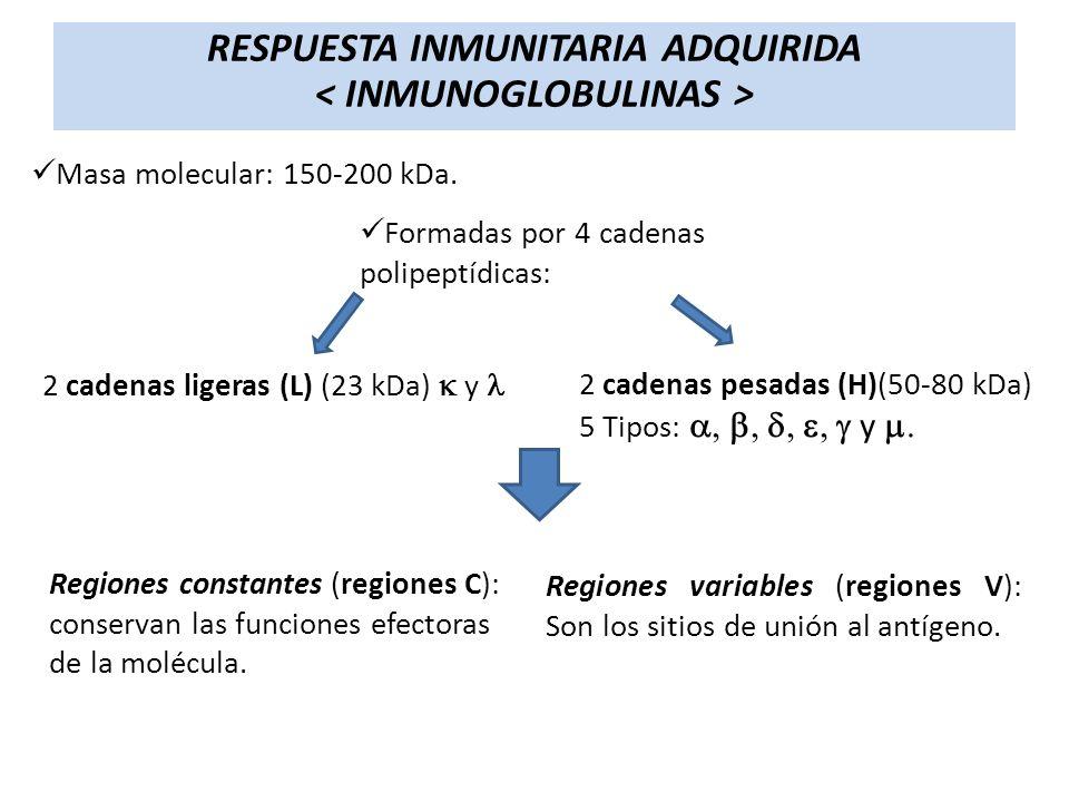 RESPUESTA INMUNITARIA ADQUIRIDA Masa molecular: 150-200 kDa. Formadas por 4 cadenas polipeptídicas: 2 cadenas pesadas (H)(50-80 kDa) 5 Tipos: y 2 cade