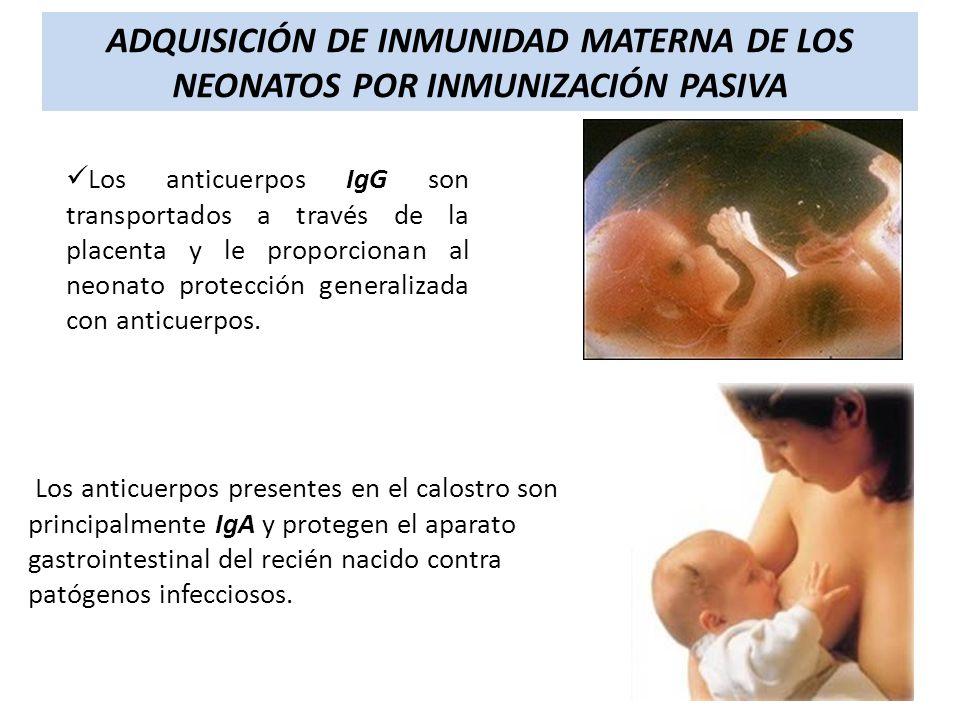 Los anticuerpos IgG son transportados a través de la placenta y le proporcionan al neonato protección generalizada con anticuerpos. ADQUISICIÓN DE INM